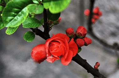 海棠的品种分类