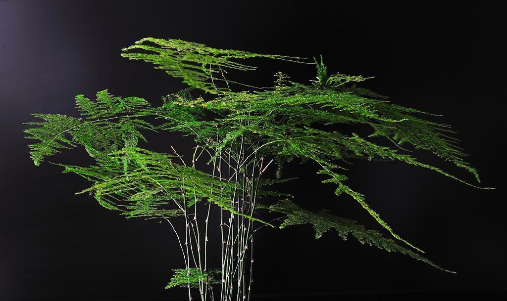 文竹的形态特征和生长环境